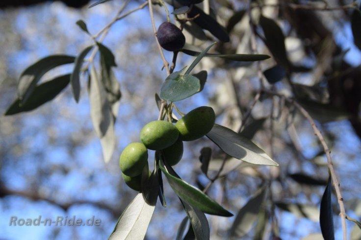 olive90266717.jpg